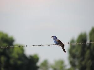 blå, Karmindompap, fugl, sidder, wire, hegn