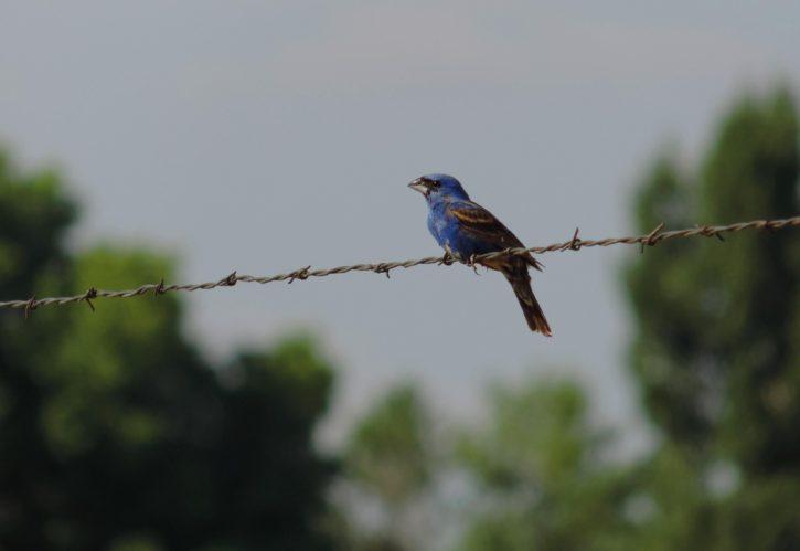 blue, grosbeak, bird, wire, small, bird
