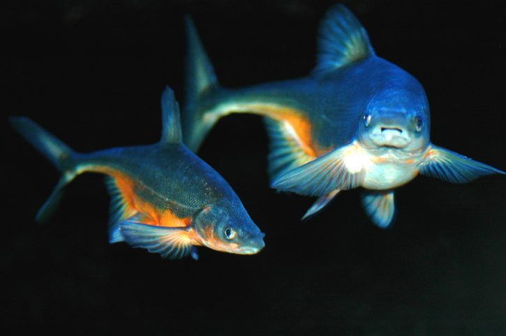 bonytail, chub, bonytail, Gila, elegans, cyprinid, freshwater, fish
