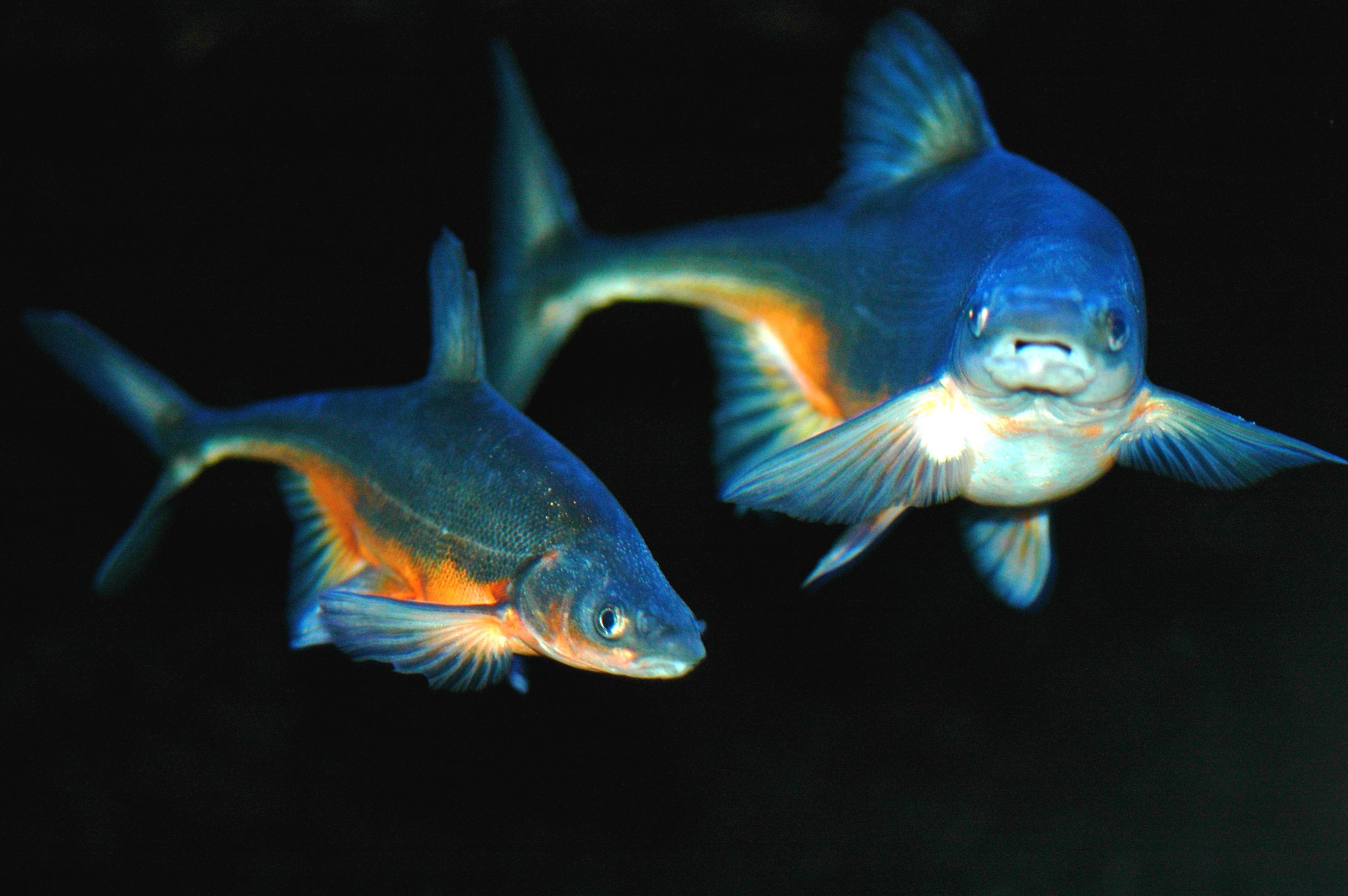 Free photograph; bonytail, chub, bonytail, Gila, elegans, cyprinid, freshwater, fish