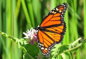 papillon, asclépiade, nectar, insecte