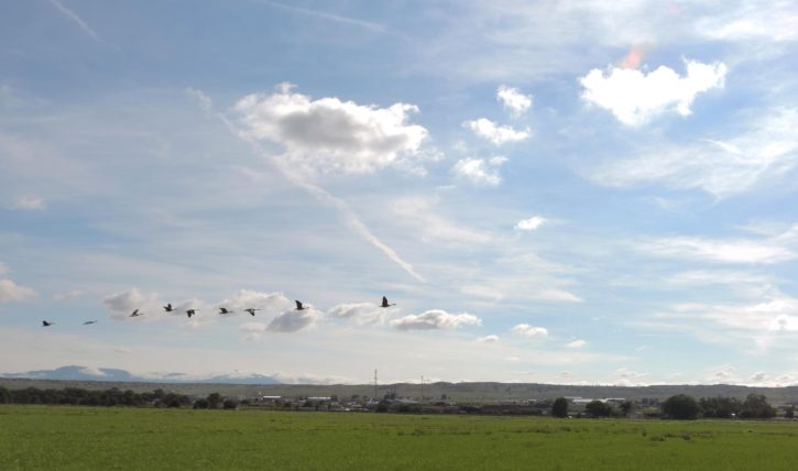 canada, geese, fly, old, agricultural, field