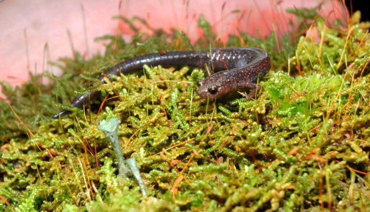 cheat, muntain, salamander, grass