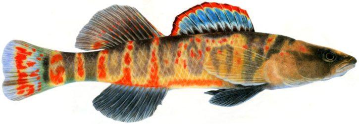 cumberland, arrow, darter, illustration, fish