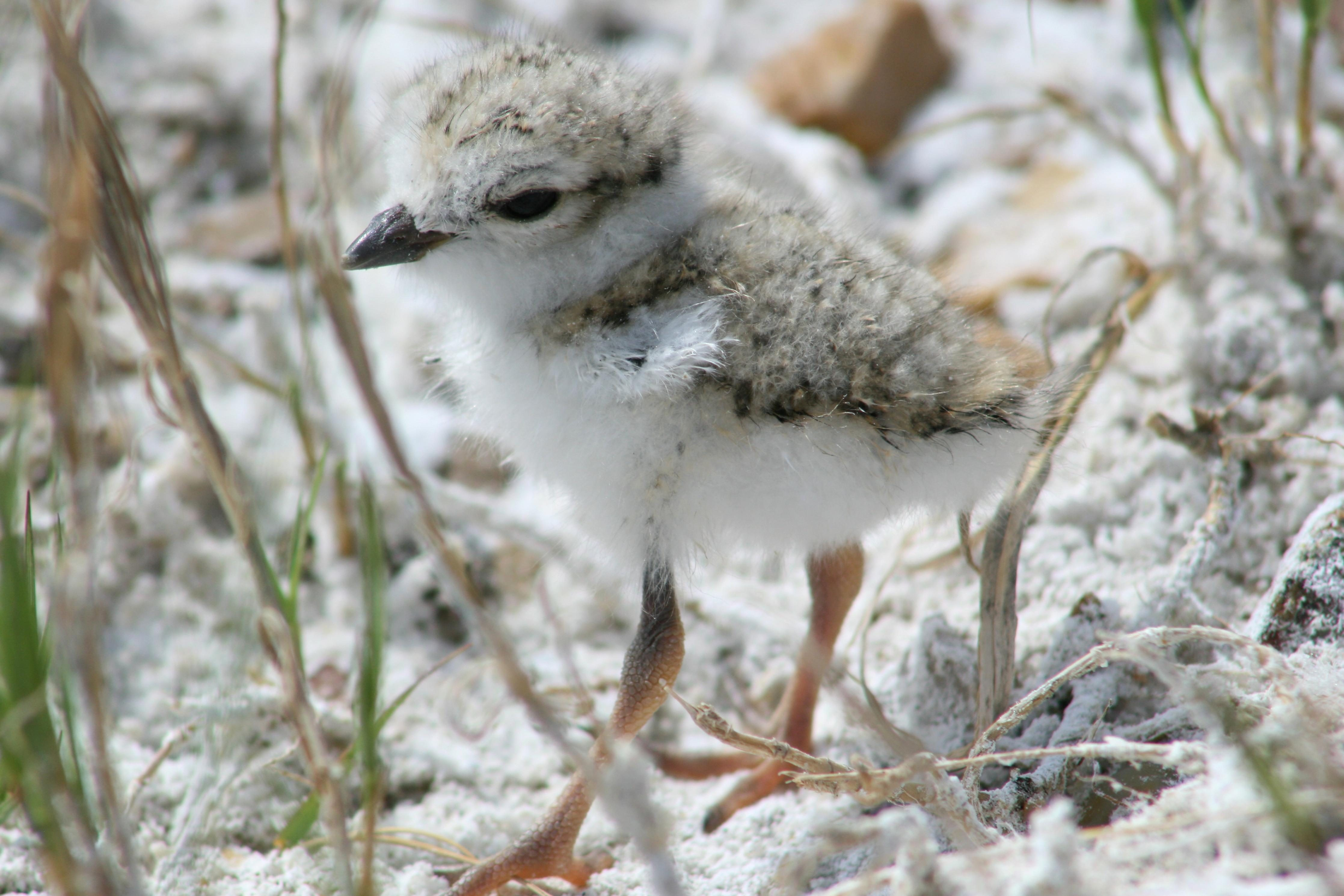 Free photograph; cute, little, piping, plover, chick, bird
