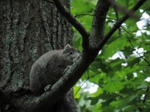 péninsule de Delmarva, renard, écureuil, arbre, forêt, animal