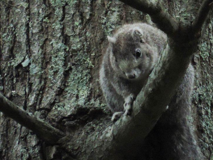 delmarva, Peninsula, squirrel