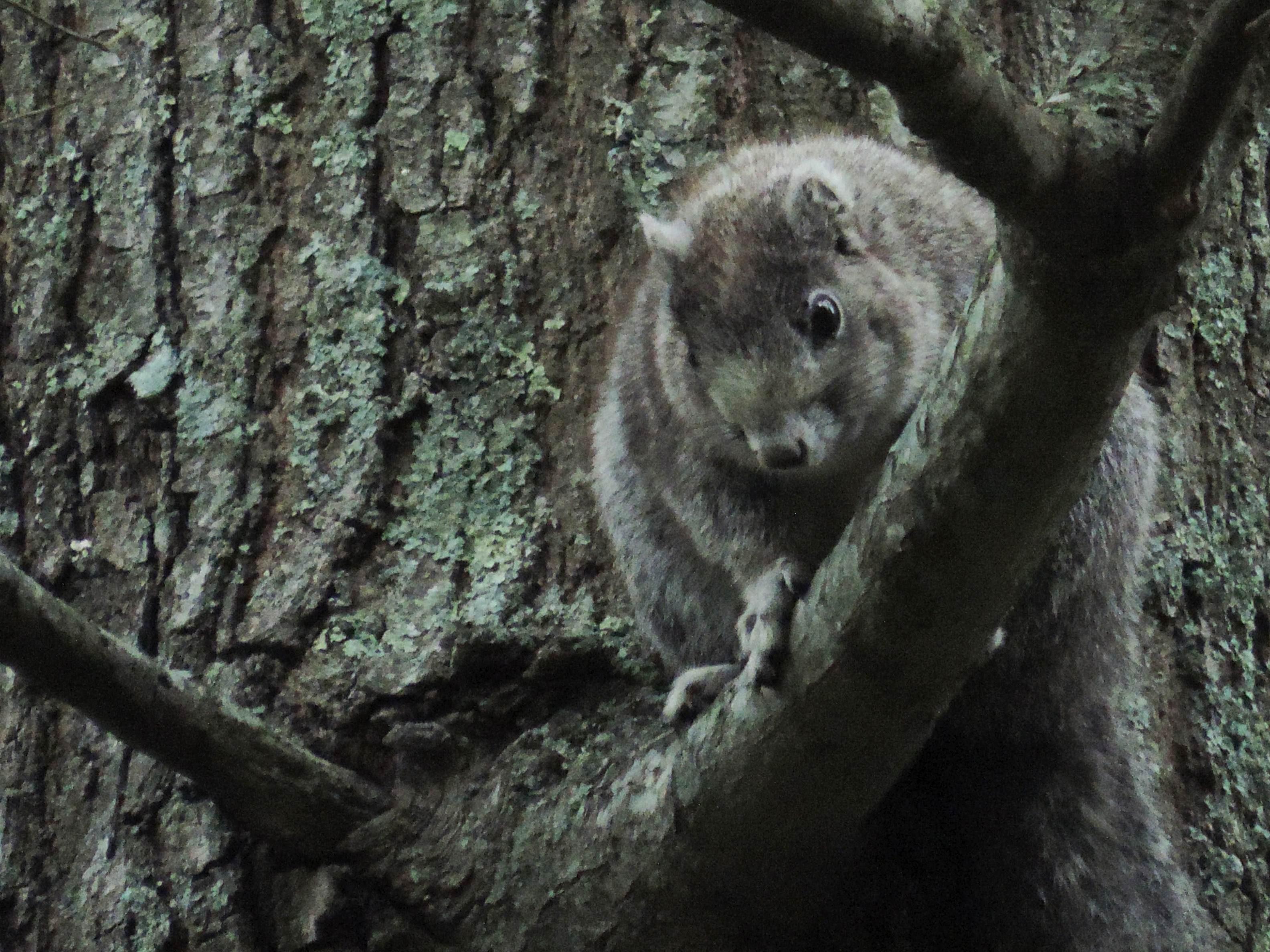 Free photograph; delmarva, Peninsula, squirrel