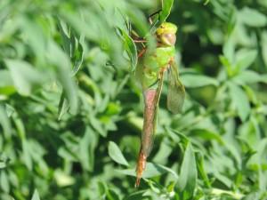 libellule, se trouve, plante