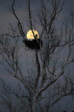 Águia, noite de árvore, a lua,