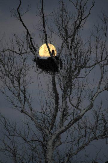 eagle, tree, moon, night