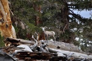 en voie de disparition, menacées, mouflons, moutons, animal