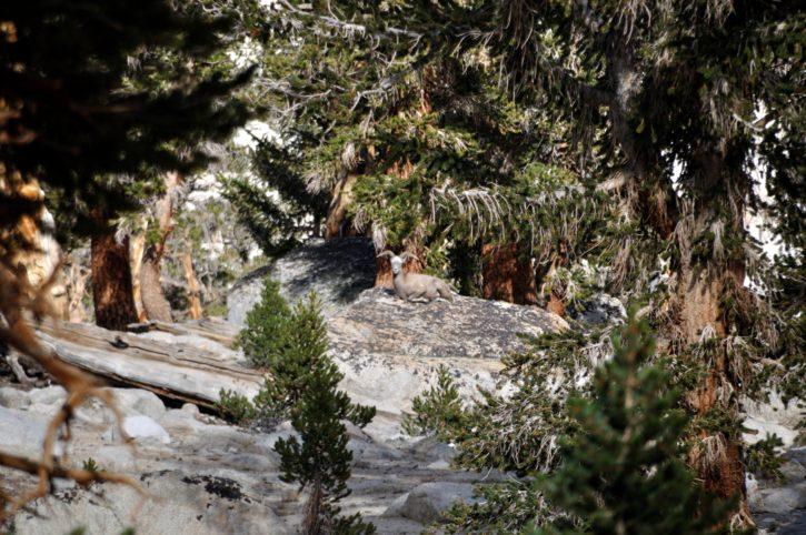 endengered, 动物, 哺乳动物, 山脉, 内华达州, 巨角, 绵羊