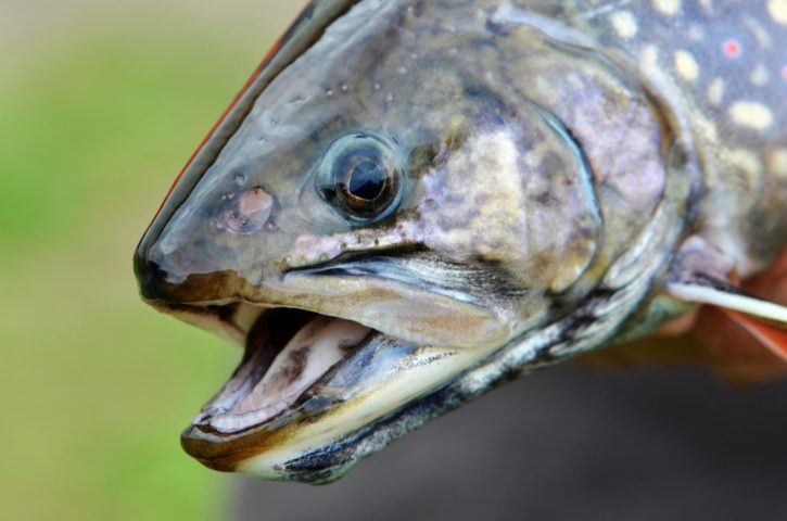 fish, head, female, coaster, brook, trout