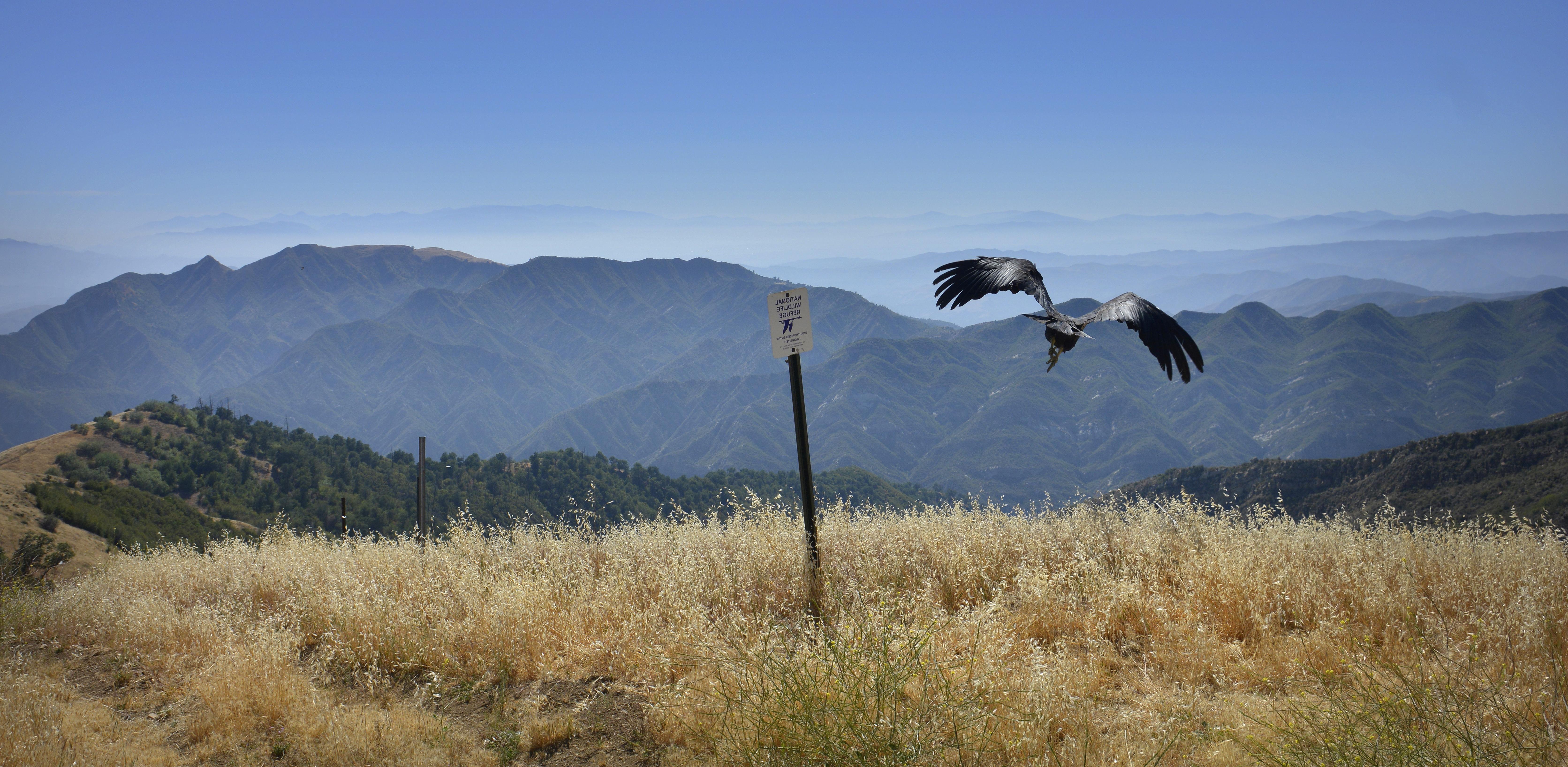 Free photograph; flying, California, condor, desert, bird