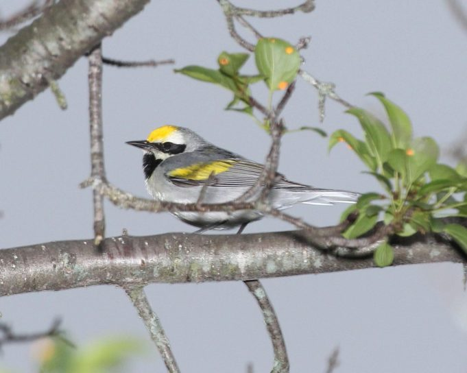 golden, winged, warbler, bird, perched, branch