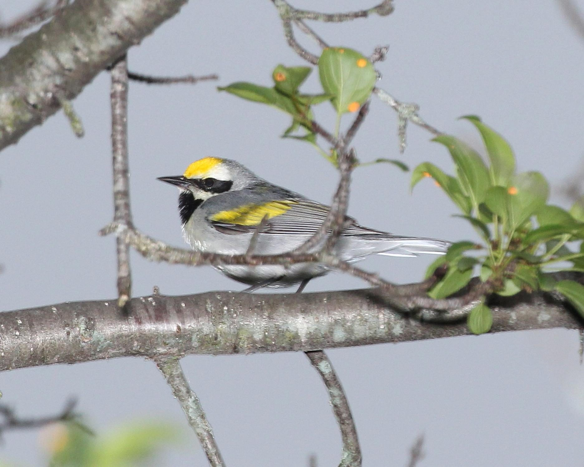 Free photograph; golden, winged, warbler, bird, perched, branch