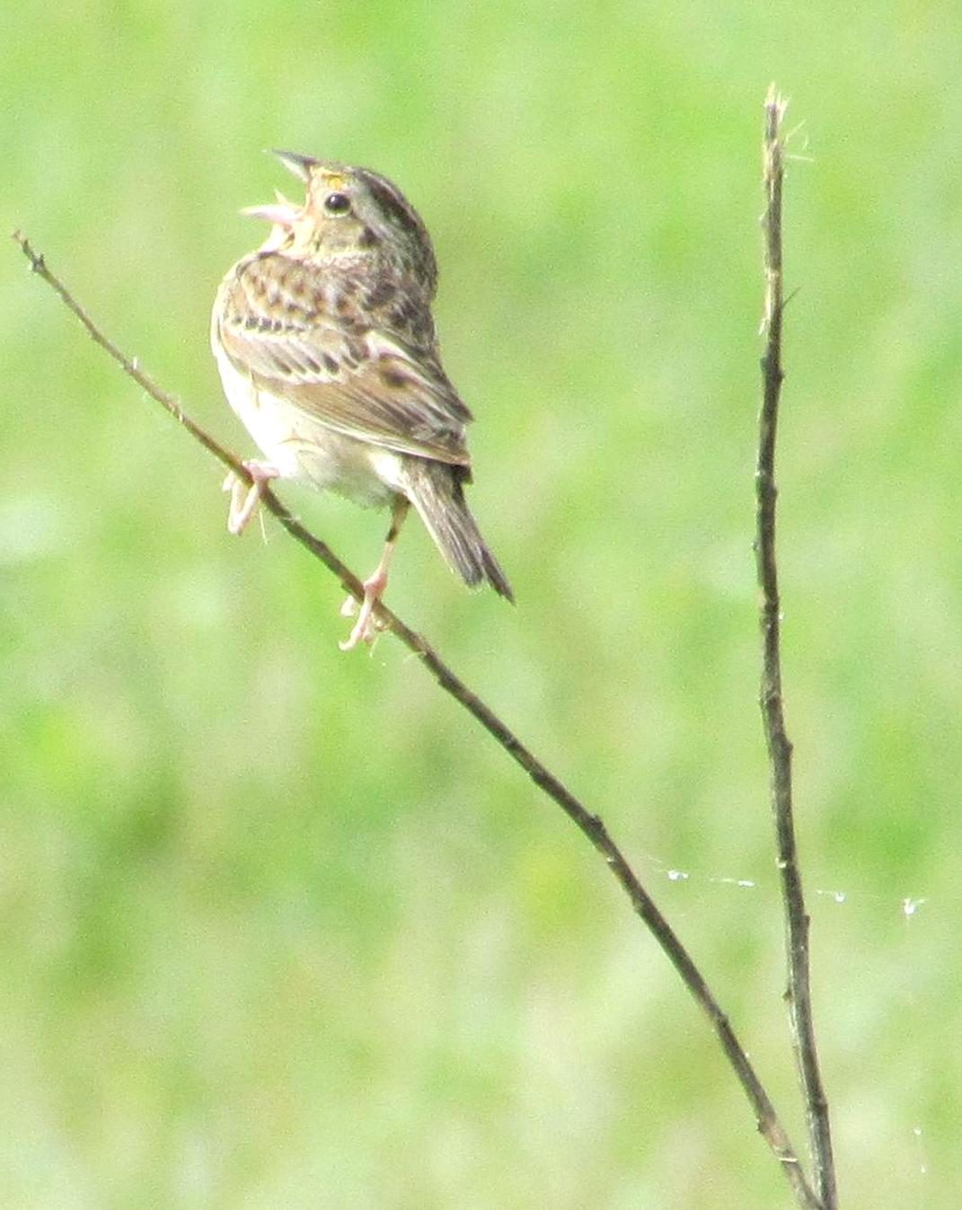 Free photograph; grasshopper, sparrow, priority, focal, species