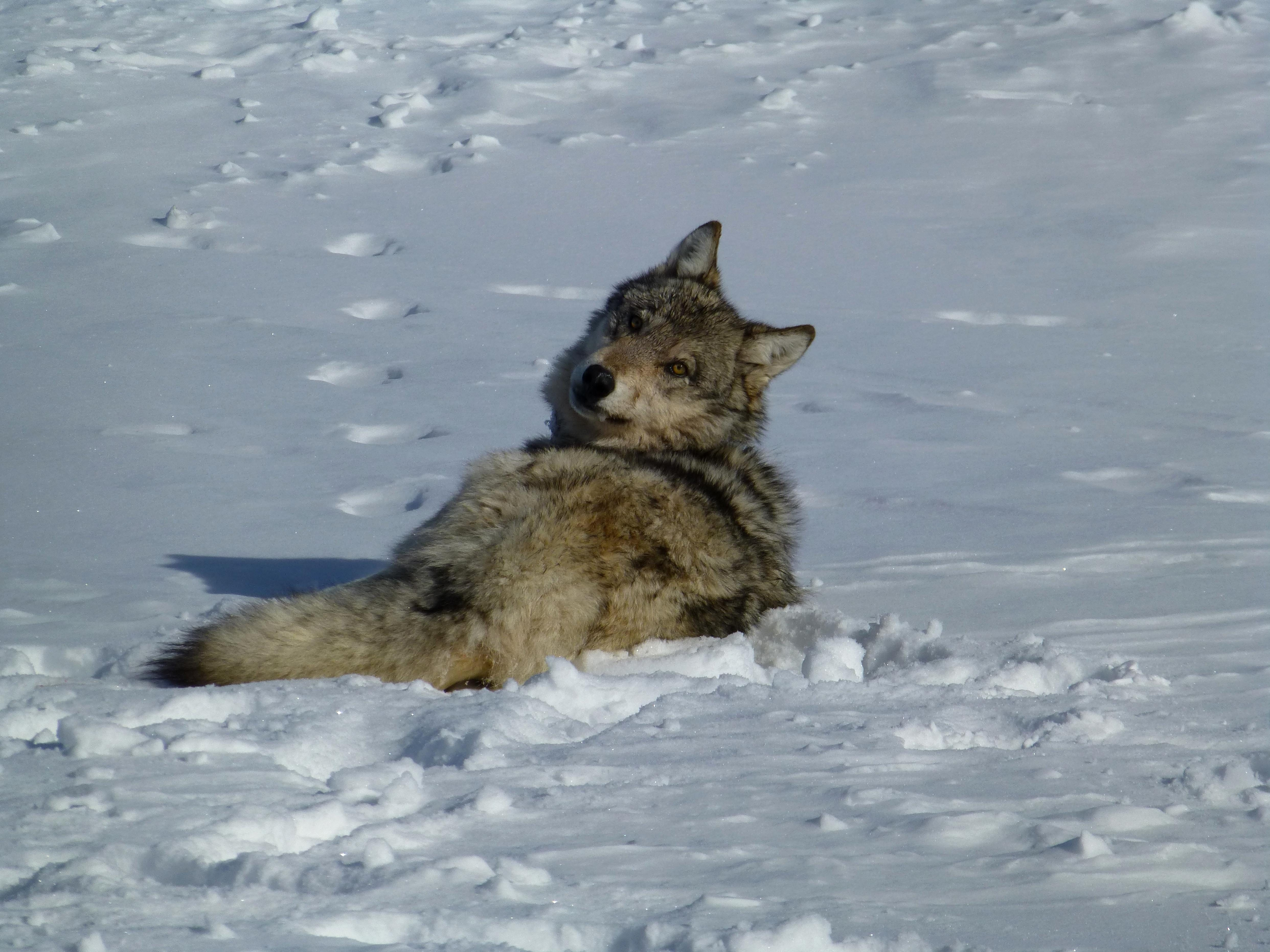 Free photograph; gray, wolf, snow