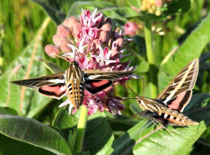 hummingbird, moth, white, lined, sphinx, moth, showy, milkweed