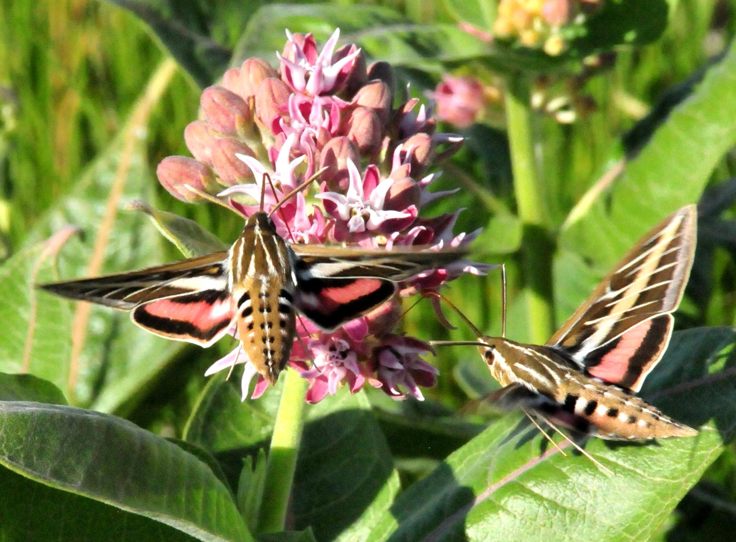 Free Picture Hummingbird Moth White Lined Sphinx Moth Showy