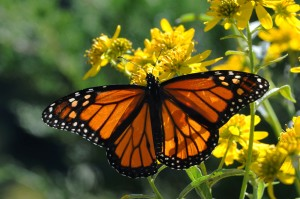insect, beaty, nice, Monarch, butterfly