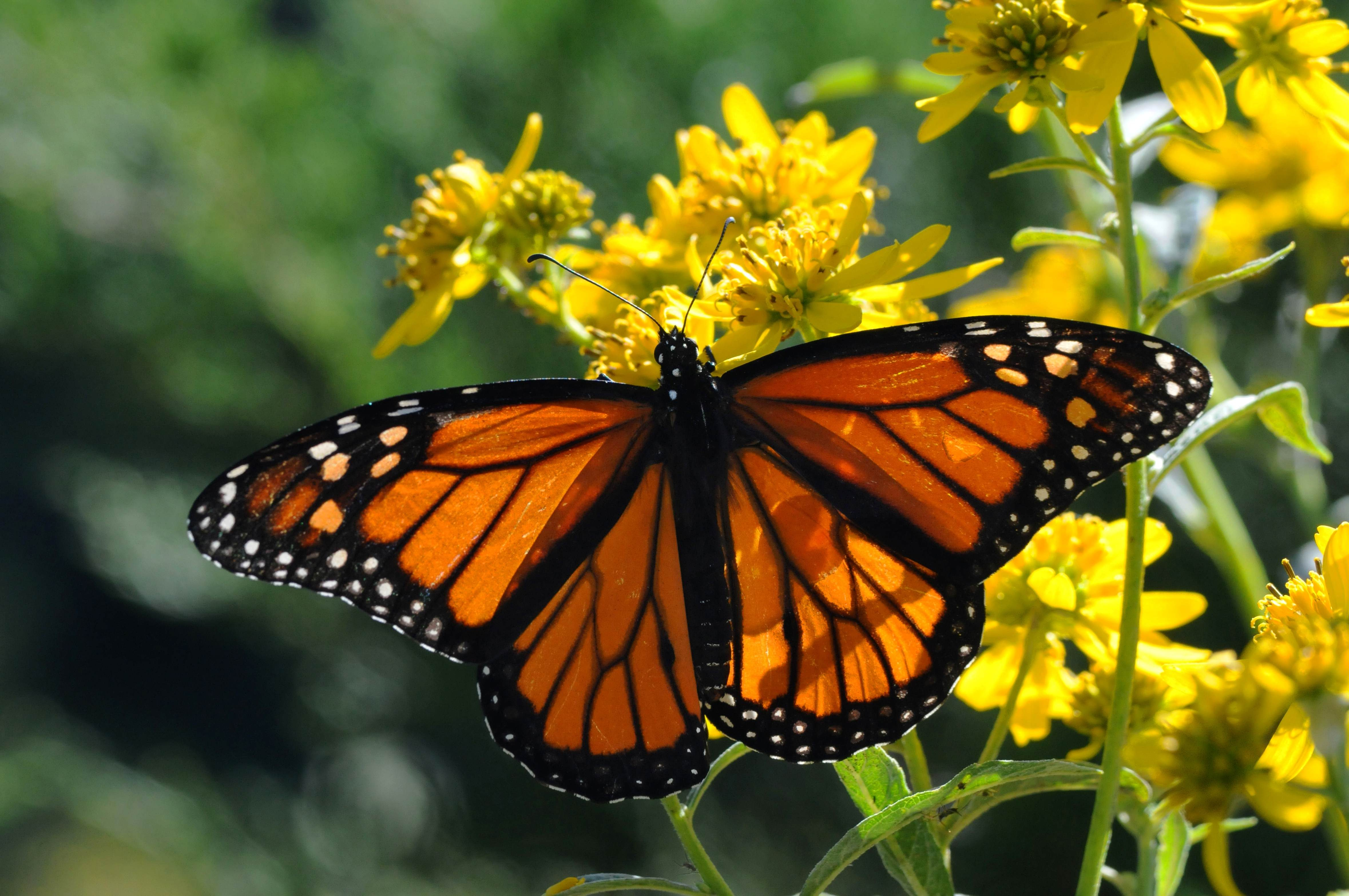 Free photograph; insect, beaty, nice, Monarch, butterfly