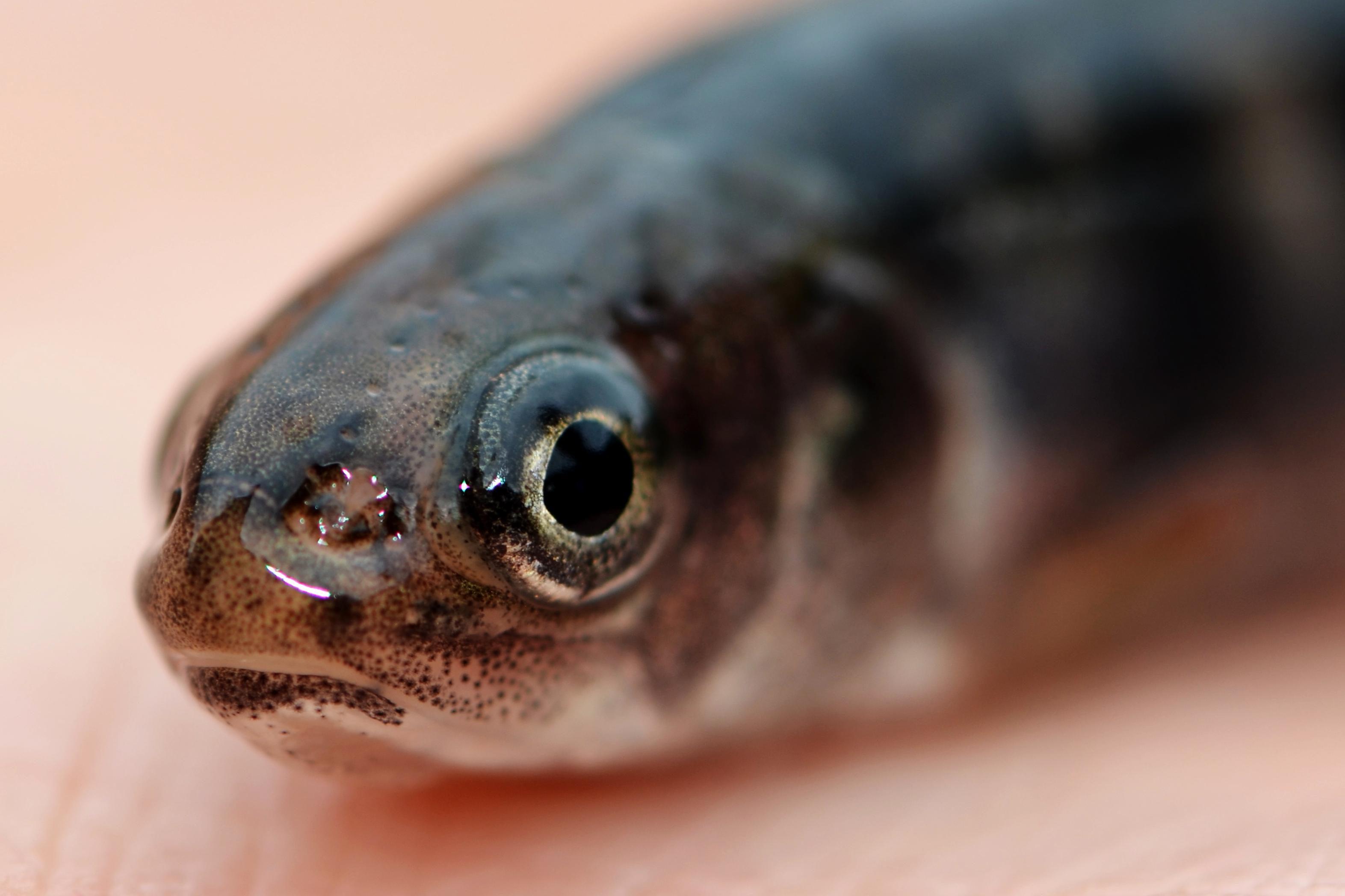 Free photograph; juvenile, Coaster, Brook, trout, fish, head, hand