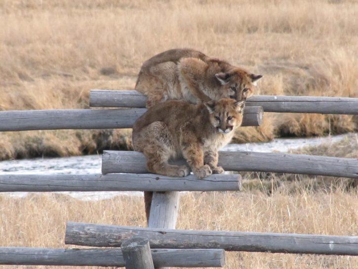 juvenille, mountain, lions, animals