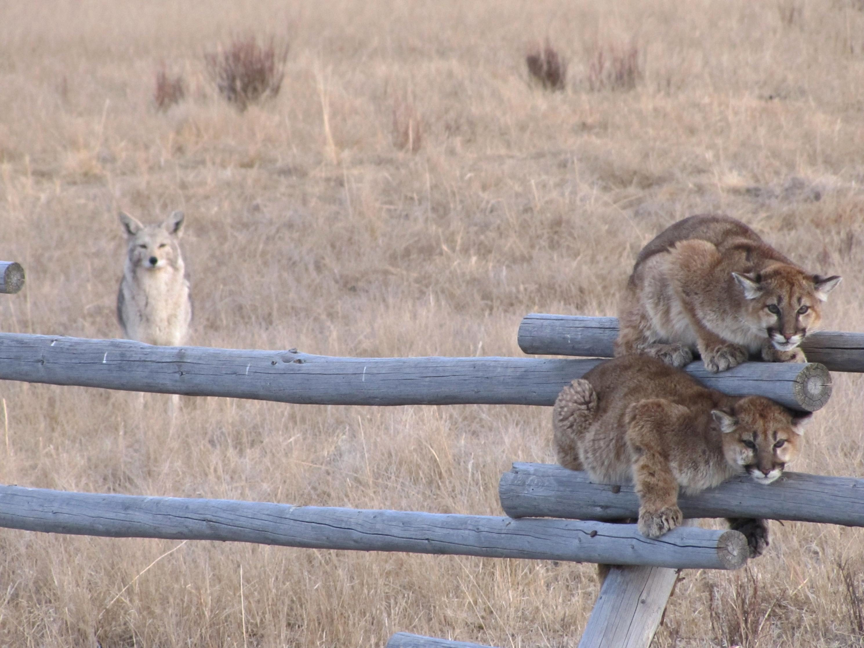 Free photograph; juvenille, Mountain, lions, fence, coyote, background