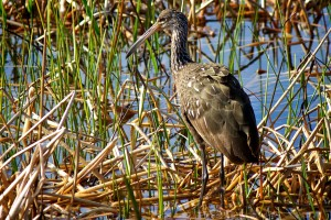 Limpkin, carrao, courlan, κλάμα, πουλί