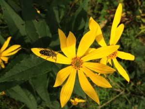 locust, borer, beetle, woodland, sunflower