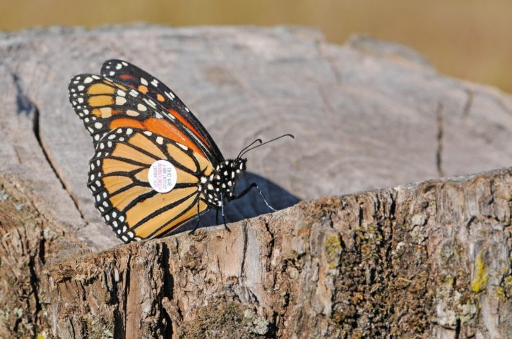 log, wood, tagged, monarch, butterfly