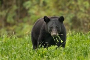louisiana, black bear, animal, wildness