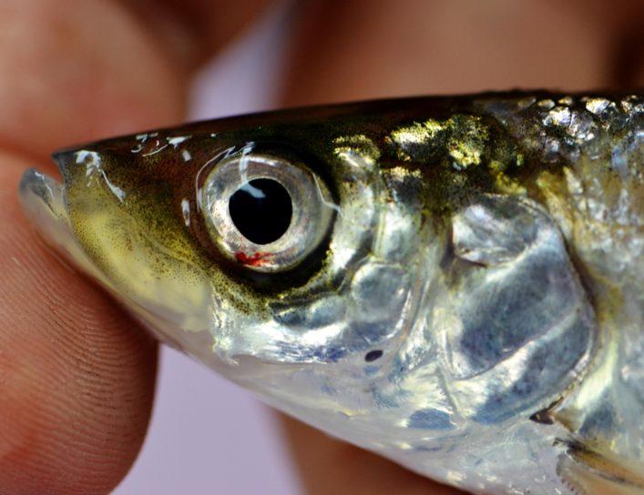 mâle, bouffi, poissons, eau profonde, cisco, recueilli, lac, Michigan