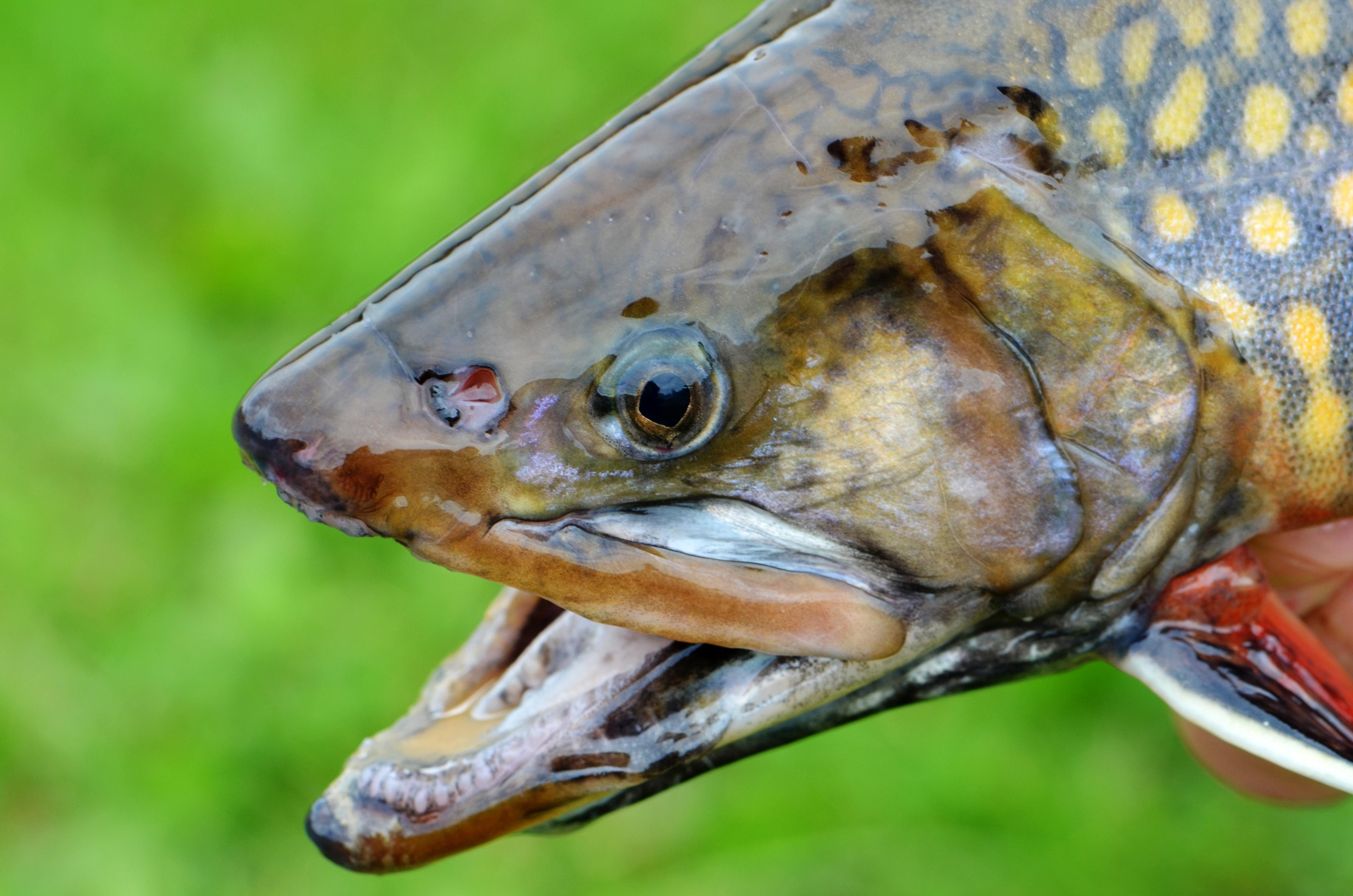 Free photograph; male, coaster, brook, trout, fish