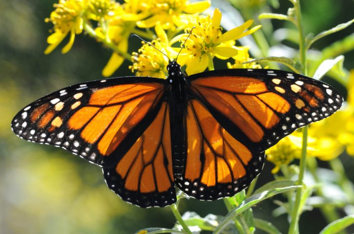 monarch butterfly, up-close, macro, orange, bug, insect