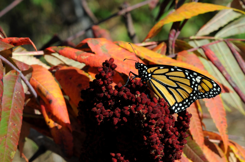 Free photograph; monarch, butterfly, fall, foliage