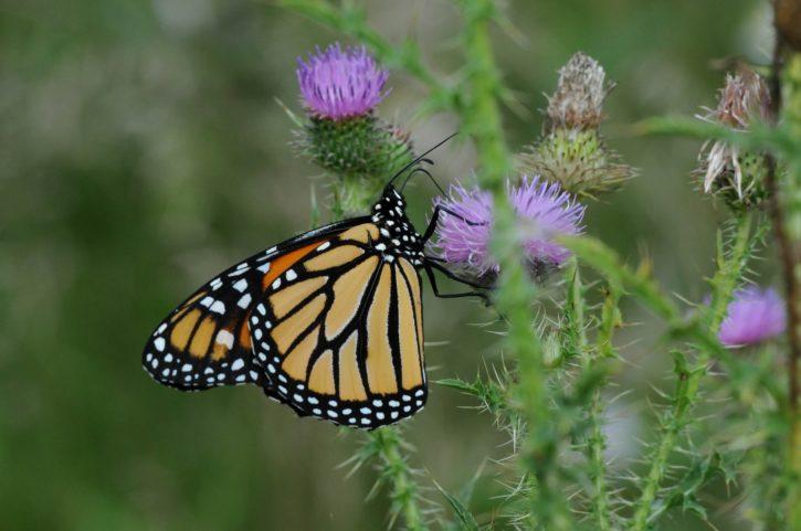 monarch, butterfly, flower, pinkish, bloom