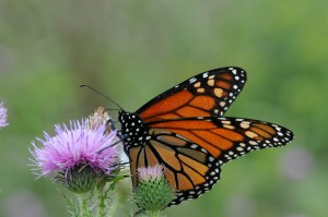 monarch butterfly, flowering, plant, insect