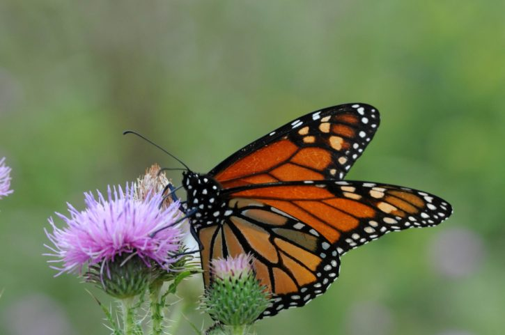 monarch, butterfly, flowering, plant, insect