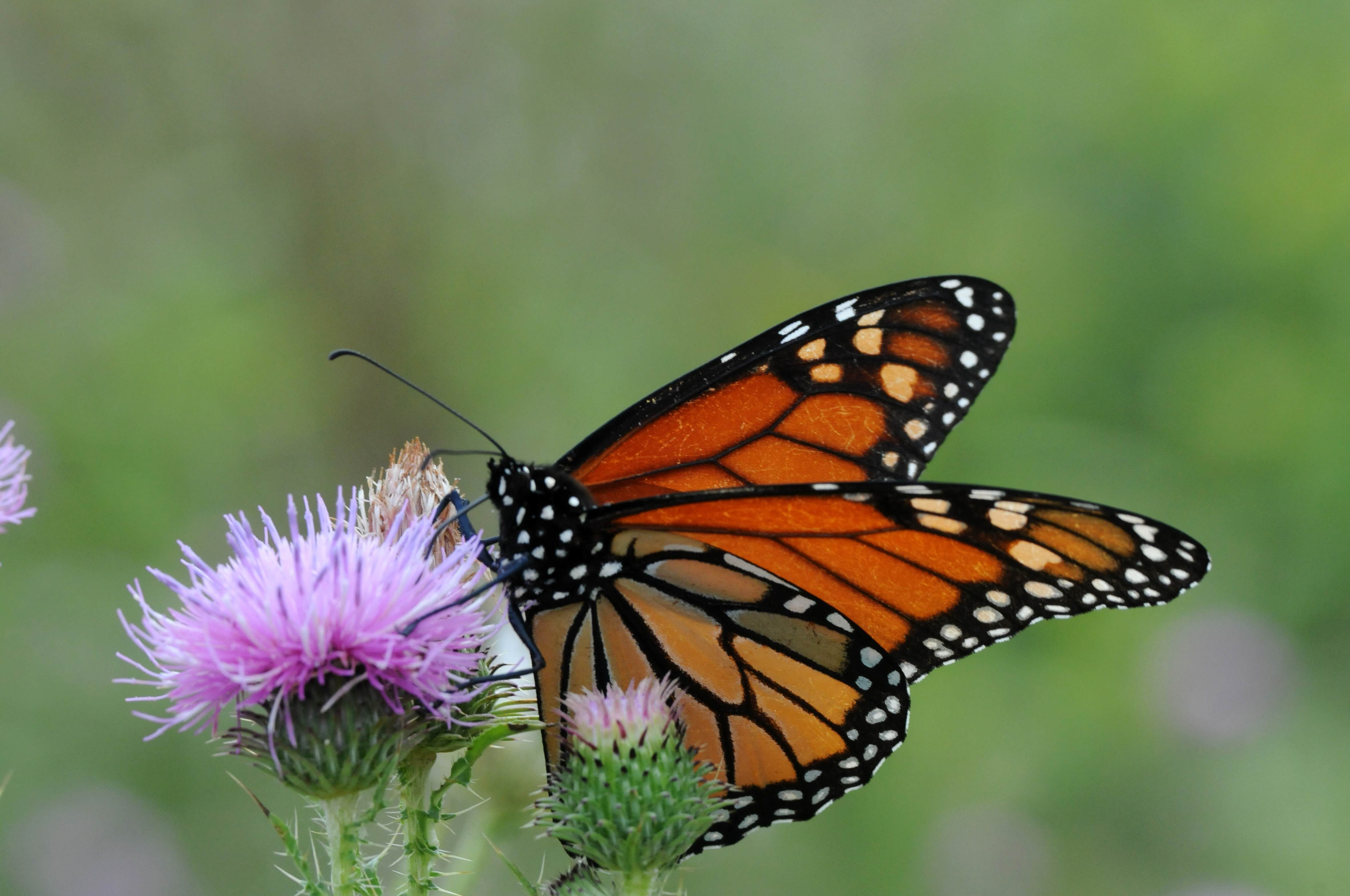 Free photograph; monarch, butterfly, flowering, plant, insect