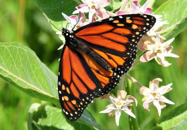 mariposa monarca, insectos, nectaring, llamativo, algodoncillo