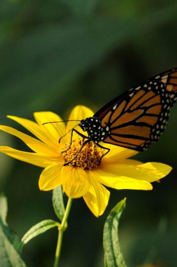 monarch, butterfly, insect, yellow, flower