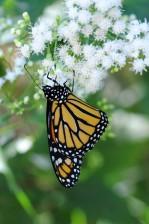 borboleta-monarca, descansos, planta, erva, vagem