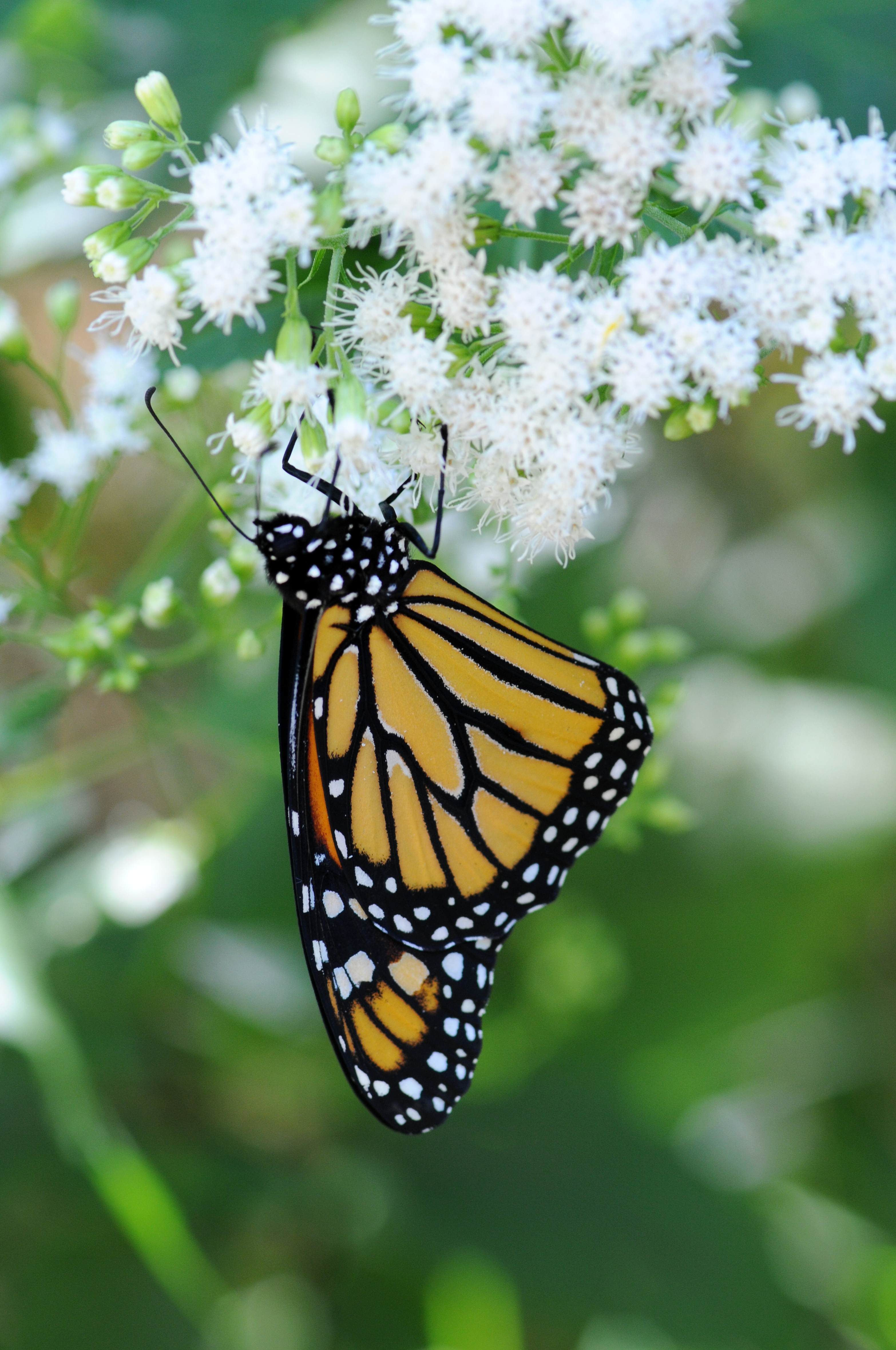 Free photograph; monarch, butterfly, rests, plant, grass, pod