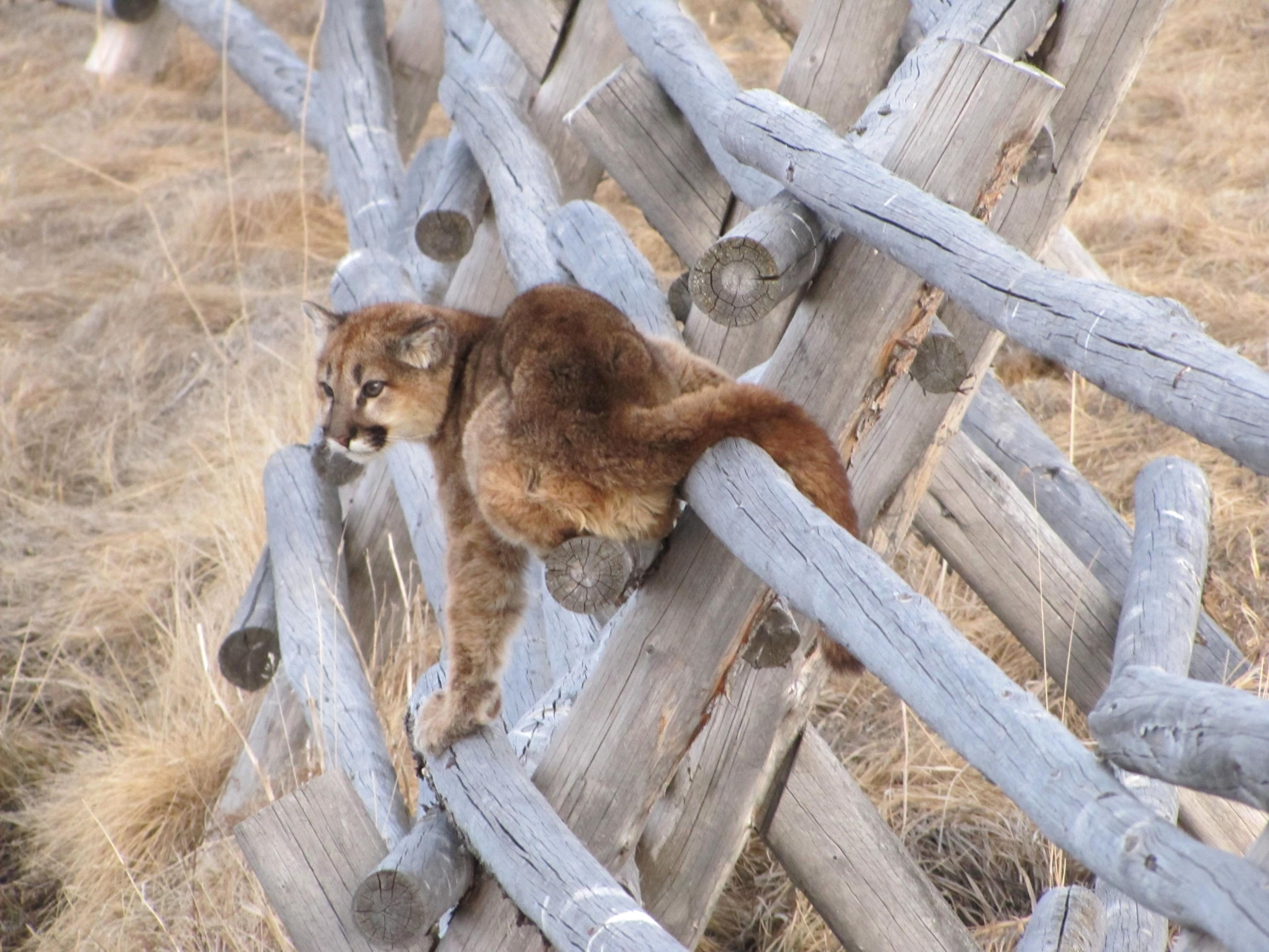 Free photograph; mountain, lion, fence