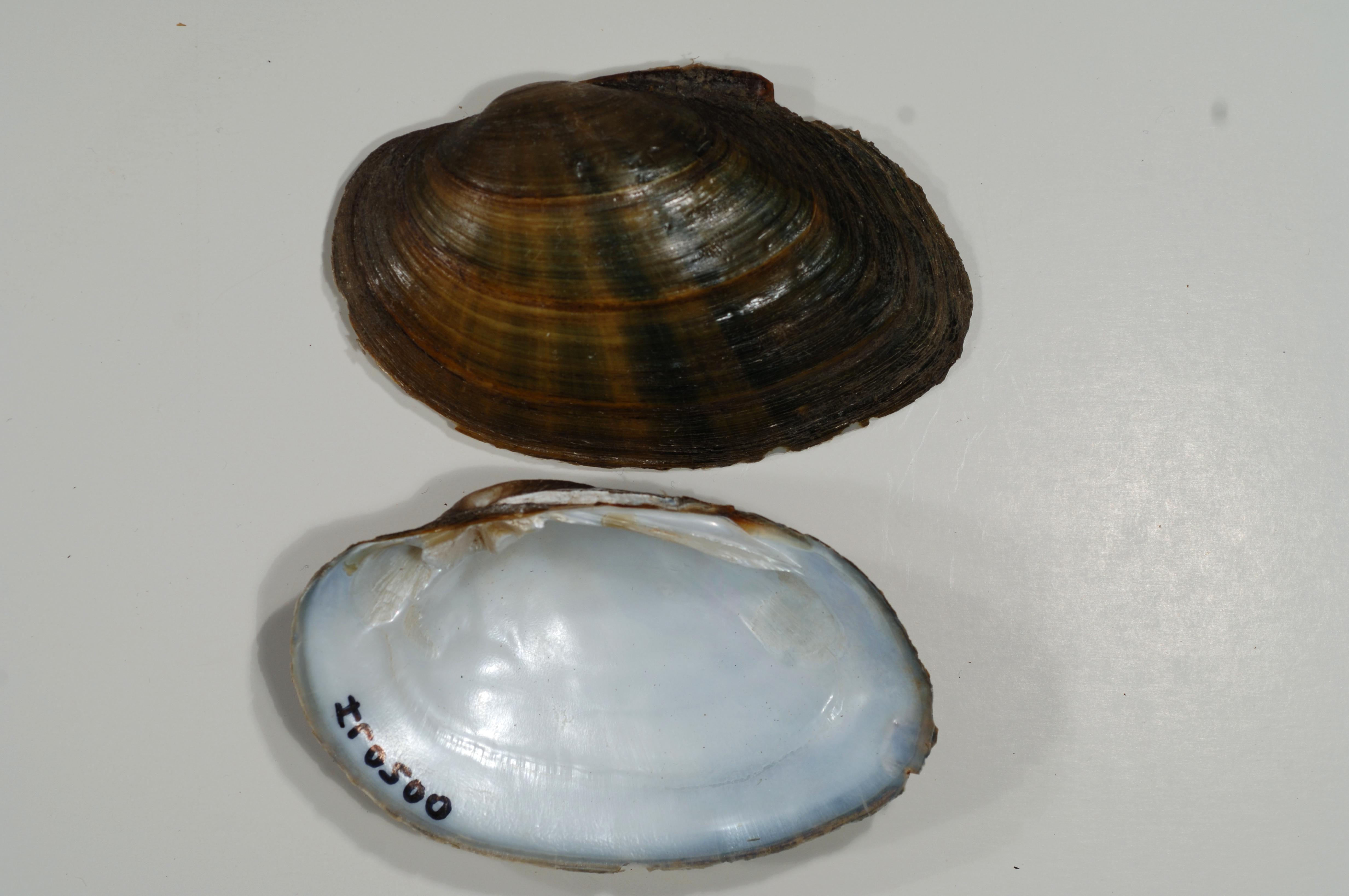 Free photograph; freshwater, mussel, image, Kishwaukee, river