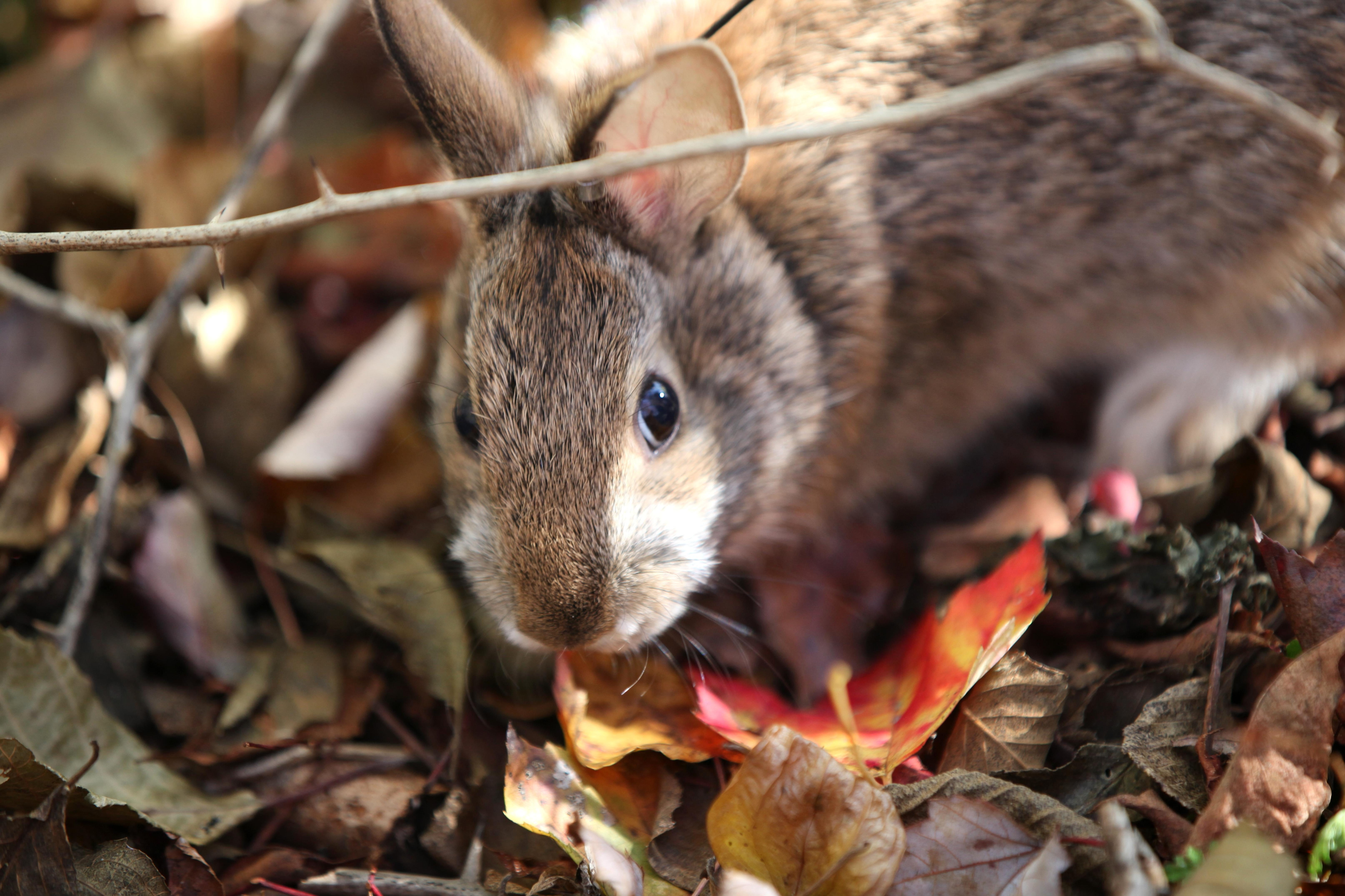 Free photograph; new, England, cottontails, native, rabbit