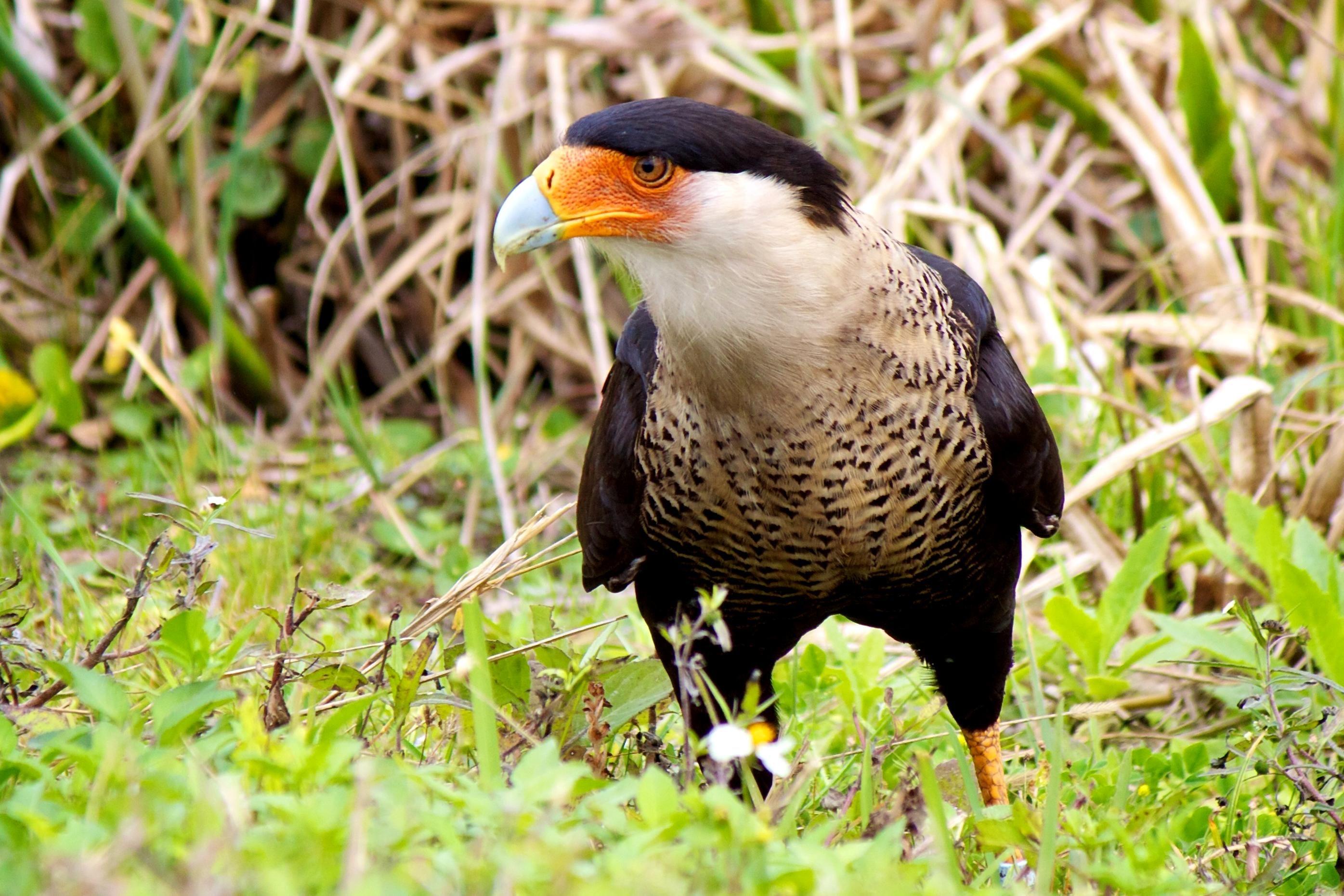 Free photograph; northern, crested, caracara, bird